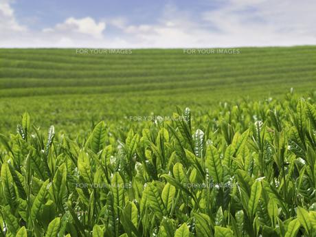 新芽と茶畑の素材 [FYI01149113]