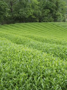 茶畑の素材 [FYI01149114]