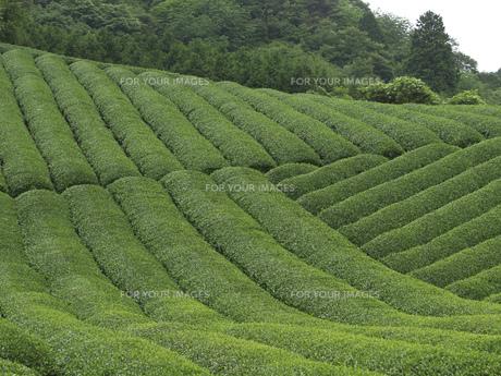 茶畑の素材 [FYI01149151]
