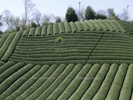 茶畑の素材 [FYI01149166]