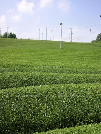 茶畑の素材 [FYI01149171]