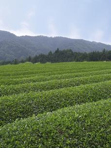 茶畑の素材 [FYI01149209]