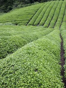 茶畑の素材 [FYI01149227]