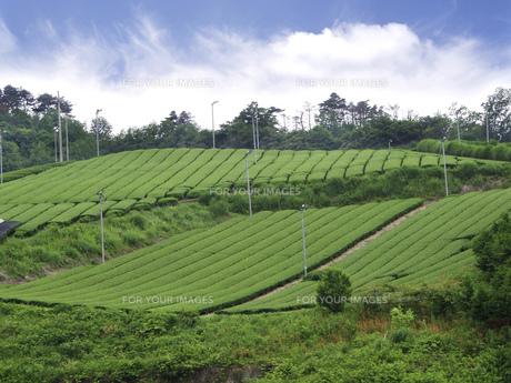 茶畑の素材 [FYI01149259]