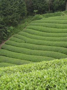 茶畑の素材 [FYI01149269]