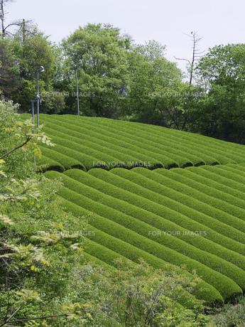茶畑の素材 [FYI01149459]