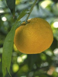 柚子の素材 [FYI01150306]