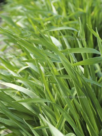 大麦若葉の素材 [FYI01150310]