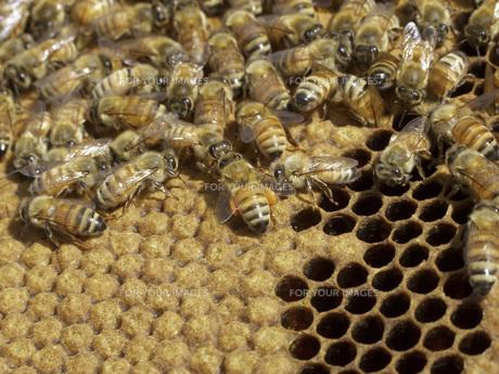 巣箱のミツバチの素材 [FYI01150458]