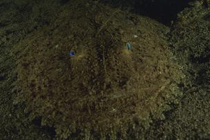 キアンコウの素材 [FYI01153433]