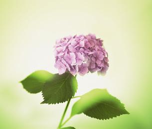 紫陽花の素材 [FYI01153719]