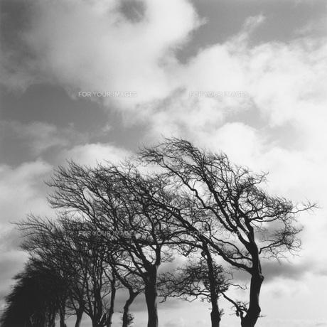 強風にさらされた木々の素材 [FYI01154457]