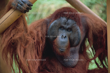 オランウータン 多摩動物公園の素材 [FYI01154480]