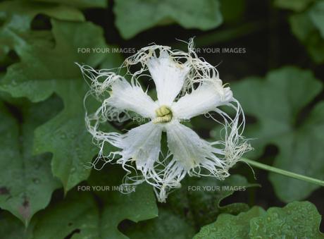 トウカラスウリの花のアップの素材 [FYI01155111]