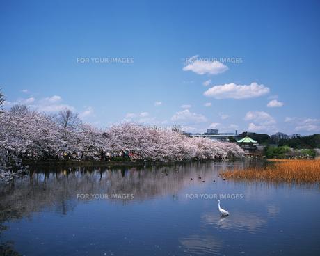 上野公園の桜の素材 [FYI01156044]