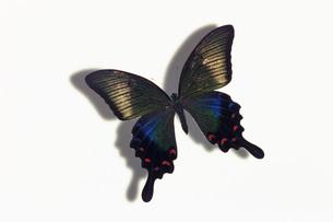 蝶の素材 [FYI01157909]