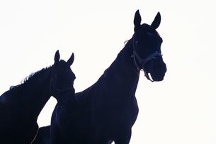 馬のシルエットの素材 [FYI01158082]