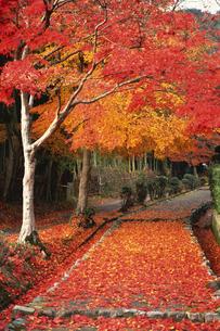 紅葉の並木道の素材 [FYI01158192]