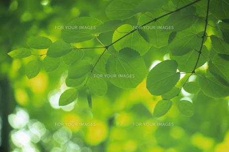 緑葉の素材 [FYI01158292]