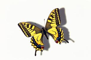 蝶の素材 [FYI01158341]