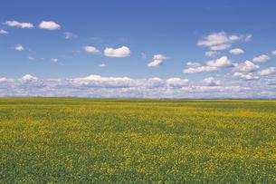黄色い花畑と青空の素材 [FYI01158559]