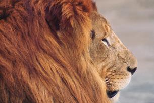 ライオンの素材 [FYI01158607]