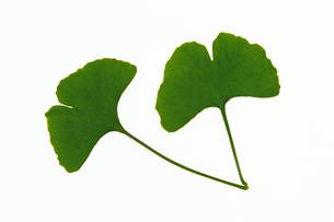 イチョウの葉の素材 [FYI01158613]