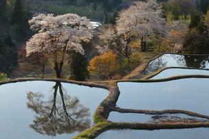 儀明の桜の写真素材 [FYI01158938]