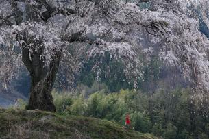 上発知のしだれ桜の写真素材 [FYI01158939]