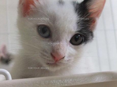 子猫の写真素材 [FYI01158964]
