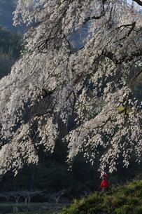 上発知のしだれ桜の写真素材 [FYI01159061]