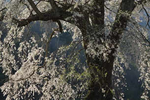 上発知のしだれ桜の写真素材 [FYI01159062]