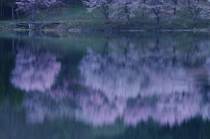 中綱湖の桜の写真素材 [FYI01159063]
