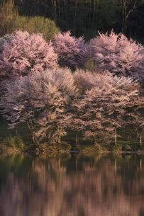 中綱湖の桜の写真素材 [FYI01159064]