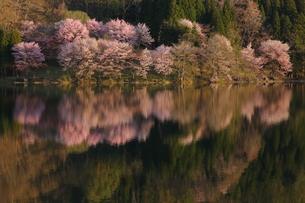 中綱湖の桜の写真素材 [FYI01159065]
