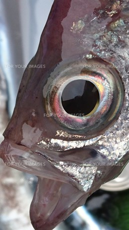 魚の顔 「ギョッ」の写真素材 [FYI01159124]