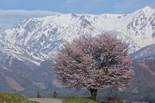 野平の桜の写真素材 [FYI01159243]