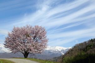 野平の桜の写真素材 [FYI01159244]