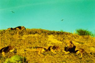 日向ぼっこをするライオンたちの写真素材 [FYI01159341]