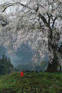 上発知のしだれ桜の写真素材 [FYI01159357]