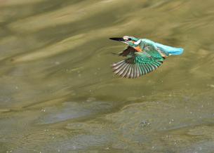 カワセミの水浴びの写真素材 [FYI01159358]