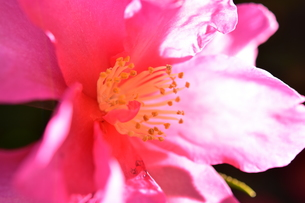 早春の梅の花の写真素材 [FYI01159444]