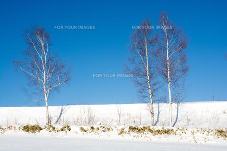 冬の青空とシラカバの写真素材 [FYI01159476]