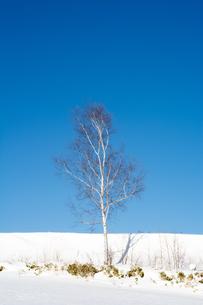 冬の青空とシラカバの写真素材 [FYI01159477]