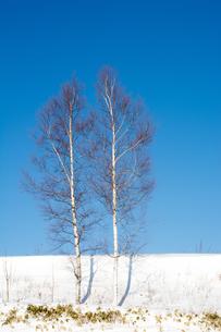 冬の青空とシラカバの写真素材 [FYI01159478]