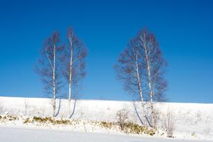 冬の青空とシラカバの写真素材 [FYI01159479]