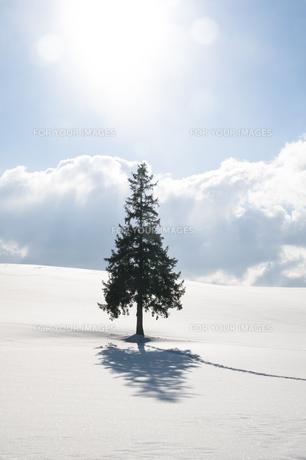 冬の丘に立つ松 美瑛町の写真素材 [FYI01159480]
