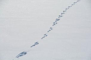 雪原の野生動物の足跡の写真素材 [FYI01159486]