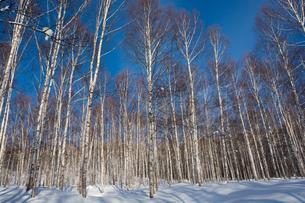 冬の青空とシラカバ林の写真素材 [FYI01159487]
