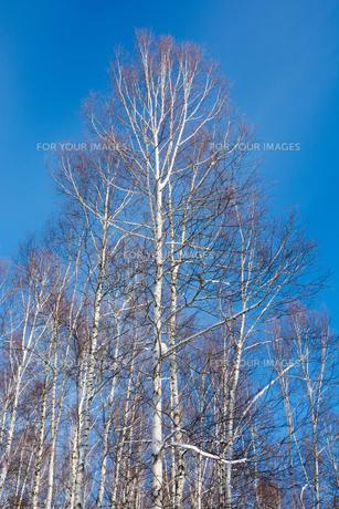 冬の青空とシラカバの写真素材 [FYI01159490]